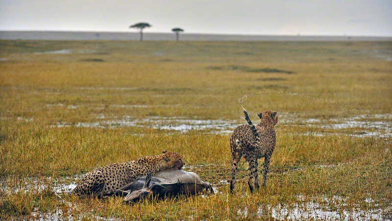 Two Cheetahs with a wildebeest during a thunder storm in the grasslands of Masai Mara in Kenya, Africa