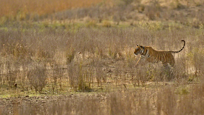 Charging tigress in Ranthambhore national park, India