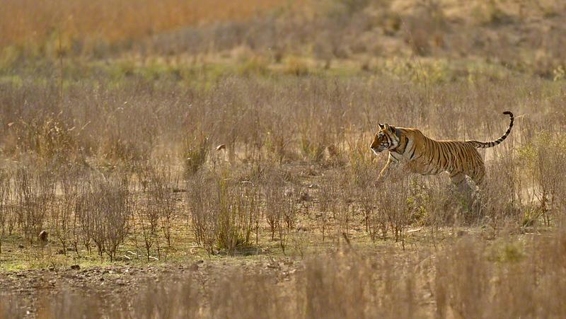Charging tigress in Ranthambhore national park, India