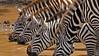 Plains or Common Zebras (Equus quagga) drinkinjg from a waterhole in Masai Mara, Kenya