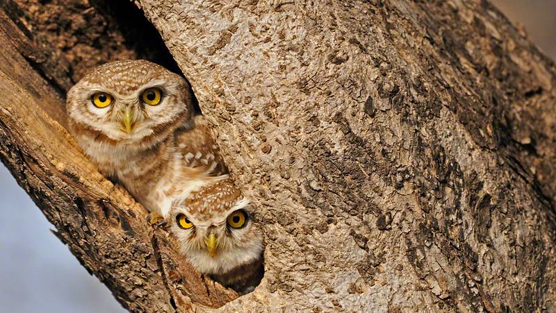 Two Spotted Owlets (Athene brama) staring from their tree hole in Ranthambore tiger reserve, India