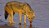 Golden Jackal (Canis aureus) drinking from the blue water of a lake in Ranthambhore tiger reserve