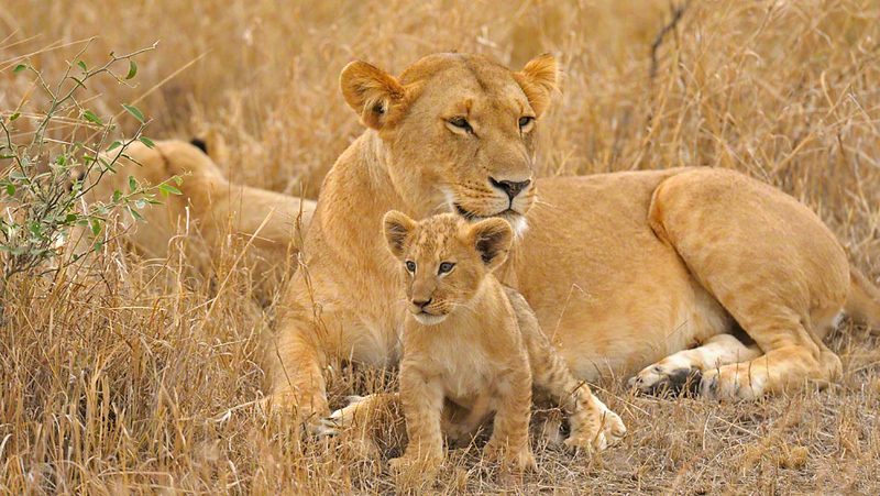 A pride of lions with a young cub in the Masai Mara, Kenya, Africa