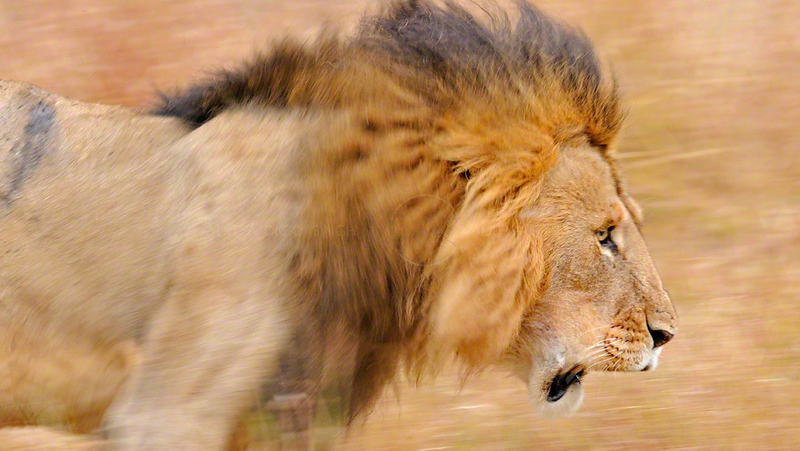 Male lion moving in the forests of Masai Mara, Kenya, Africa