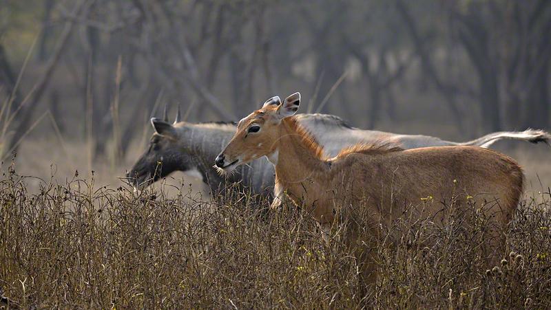 Indian antelopes or Nilgai in Ranthambhore national park