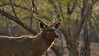 Sambar deer stag in the forests of Ranthambhore tiger reserve, India