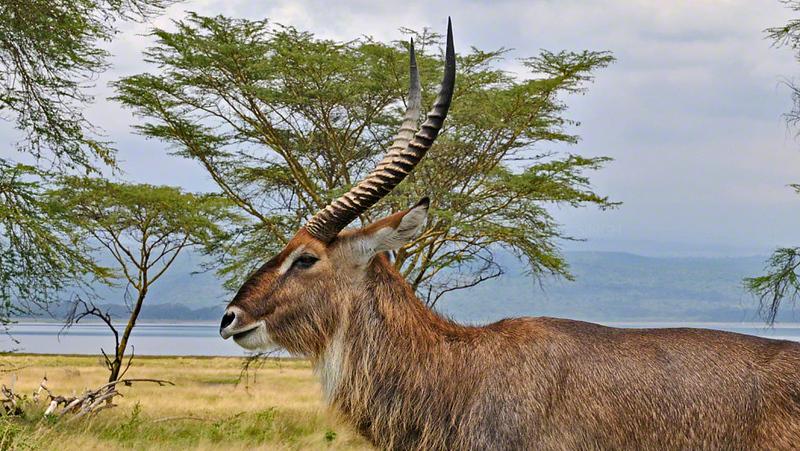 Waterbuck (Kobus ellipsiprymnus) male in Lake Nakuru landscape, Kenya