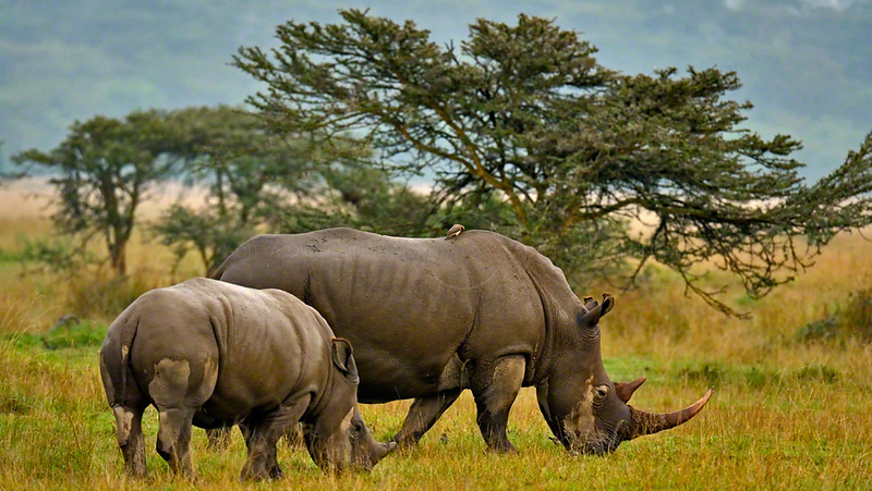 White Rhinoceros or Square-lipped rhinoceros family (Ceratotherium simum) in Lake Nakuru national park