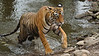 Tiger coming out of a lake during the hot summers of Ranthambore national park, India
