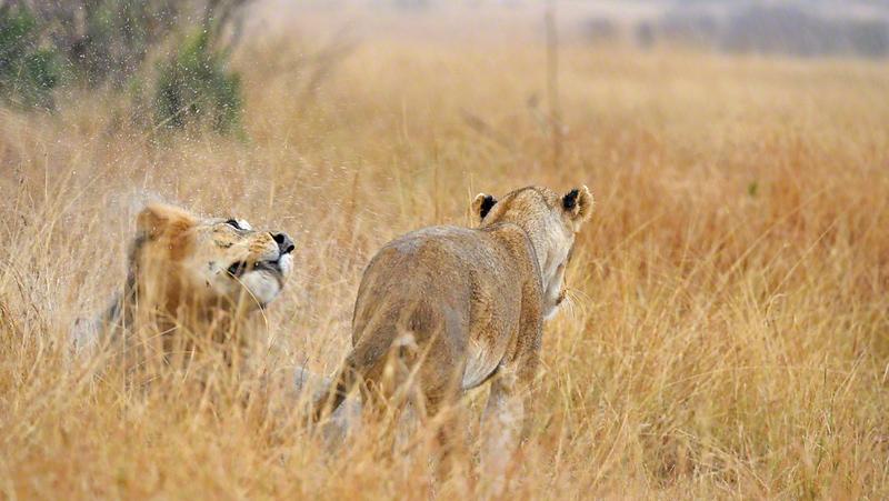 Mating lions in the grasses of Masai Mara, Kenya, Africa