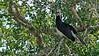 Malabar Pied Hornbill in Yala national park, Sri Lanka