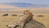 Cheetah on a mound in the grasslands of Masai Mara in Kenya, Africa