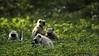 Langur monkeys foraging in in Ranthambhore national park Rajasthan