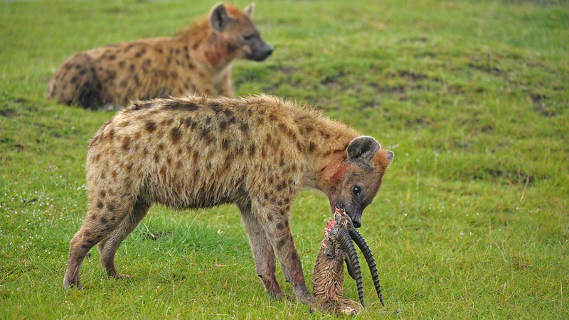 Spotted hyenas (Crocuta crocuta) eating a Thompson's gazelle kill in Lake Nakuru national park, Kenya