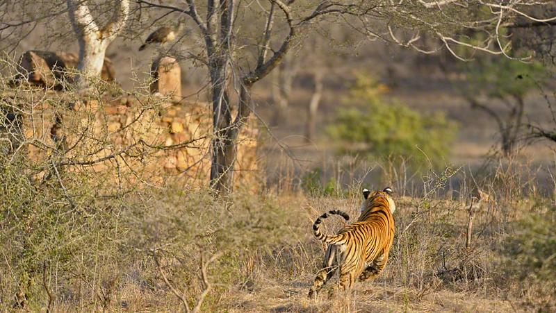 Charging tiger in Ranthambhore national park, India