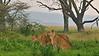 Lioness in the rain Lake Nakuru national park, Kenya, Africa