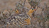 Painted Sandgrouse (Pterocles indicus) male and female on the ground in Ranthambhore