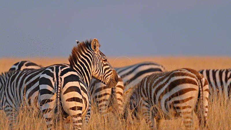 Plains or Common Zebras (Equus quagga) in the grasses at sunset