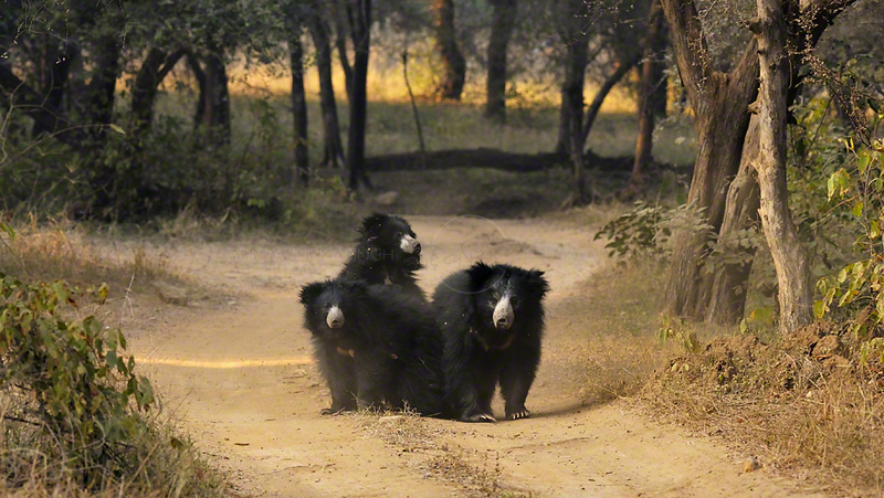 Sloth Bear family (Melursus ursinus), also known as the Labiated Bear, in Ranthambhore national park