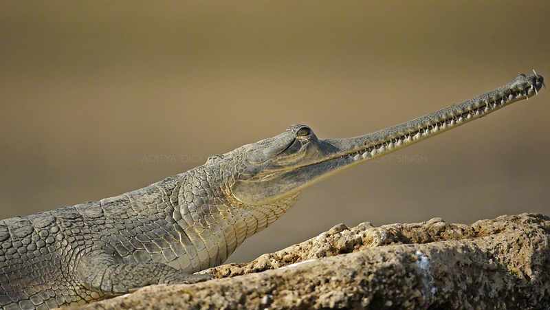 Gharial or Gavial (Gavialis gangeticus) basking in the sun in Chambal river