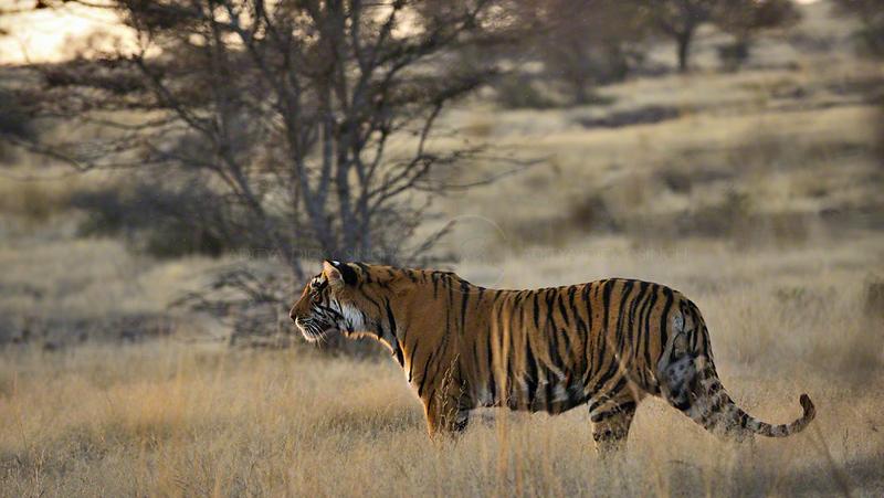 Tiger in golden light at dusk in Ranthanbhore tiger reserve