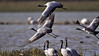 Demoiselle Cranes (Anthropoides virgo) taking off from the ground in a wetland in the Rann of Kutch
