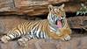 Tiger preening in a rock face in Ranthambhore national park