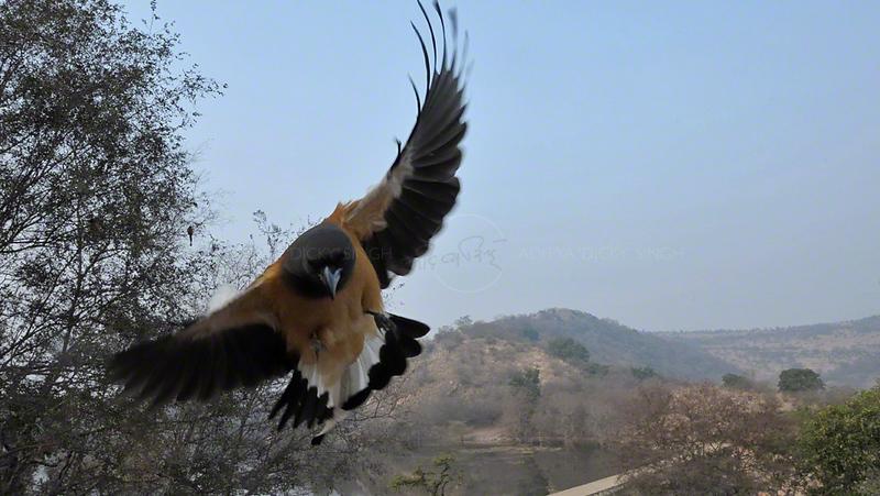 Rufous Treepie (Dendrocitta vagabunda)  flying in the forests of Ranthambore national park