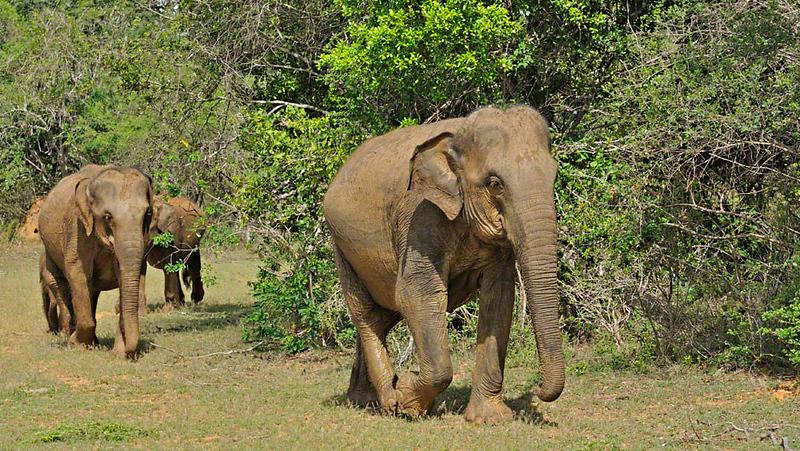 Sri Lankan Elephant (Elephas maximus maximus) in Yala national park, Sri Lanka