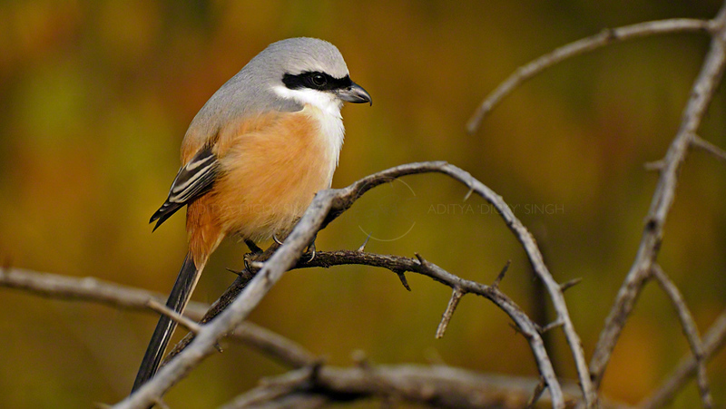 Long-tailed Shrike or the Rufous-backed Shrike (Lanius schach) in the jungles of Ranthambhore national park