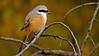Long-tailed Shrike or the Rufous-backed Shrike (Lanius schach) in the jungles of Ranthambhore national park