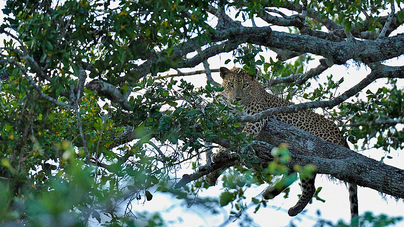Leopard sitting on a branch of a tree in Yala national park, Sri Lanka