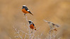 White-winged Redstart (Phoenicurus erythrogaster) perched on Sea buckthorn (Hippophae rhamnoides) bush in Ladak, India