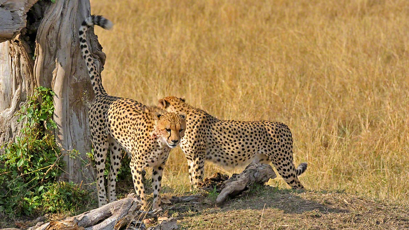 Cheetahs  in the grasslands of Masai Mara in Kenya, Africa
