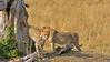 Cheetahs  in the grasslands of Masai Mara in Kenya, Africa
