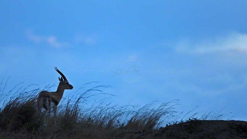 Thomson's gazelle (Eudorcas thomsonii) at sunset in Masai Mara, Kenya