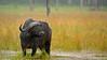 African buffalo, affalo or Cape buffalo (Syncerus caffer) in the rain, Lake Nakuru national park
