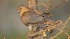 Shikra (Accipiter badius) on a branch in Ranthambhore