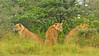 A pride of lions in rain in Lake Nakuru national park, Kenya, Africa