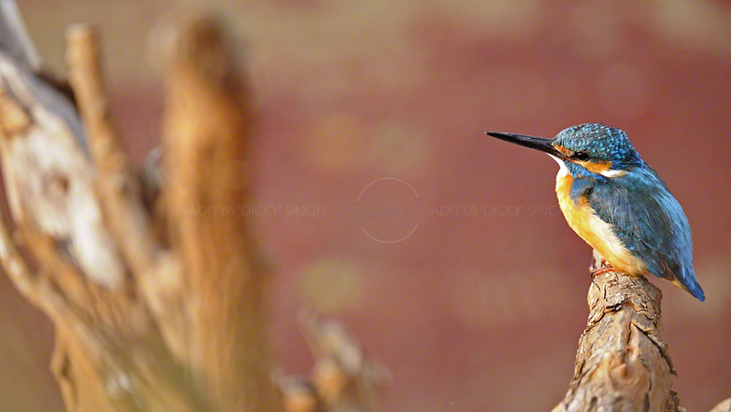 Common Kingfisher, Alcedo atthis, also known as Eurasian Kingfisher or River Kingfisher on a dead branch