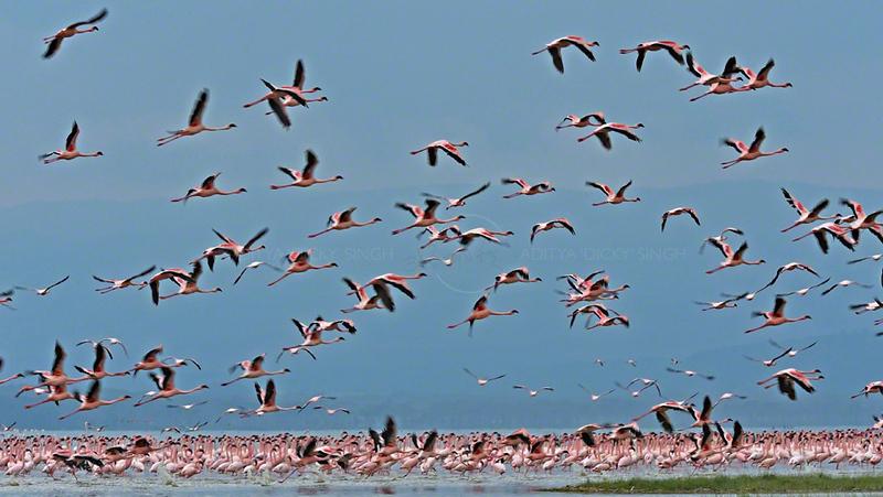 Flamingoes in Lake Nakuru, Kenya