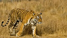 Tiger moving in Ranthambore tiger reserve