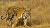 Tiger moving in Ranthambore tiger reserve