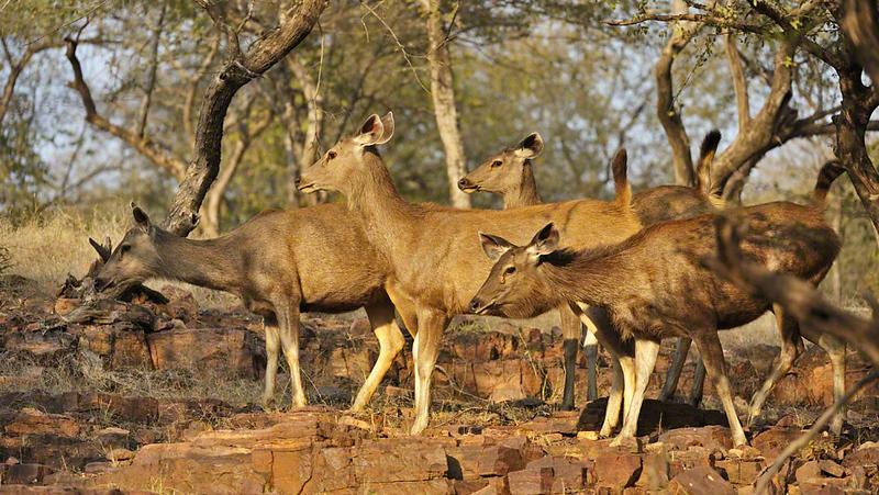 Alert Female Sambar Deer (Cervus unicolor niger) in the rocky valley of Ranthambore national park