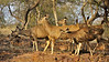 Alert Female Sambar Deer (Cervus unicolor niger) in the rocky valley of Ranthambore national park