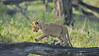 The Marsh pride of lions in the Masai Mara, Kenya, Africa