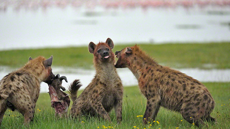 Spotted hyenas (Crocuta crocuta) eating a Thompson's gazelle kill in Lake Nakuru national park, Kenya