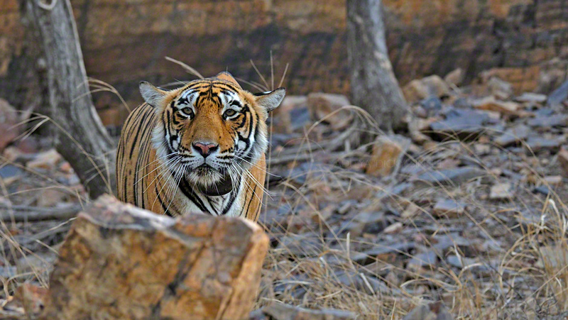 Radio collared tigress in front of a rock face Ranthambhore national park, Rajasthan, India.