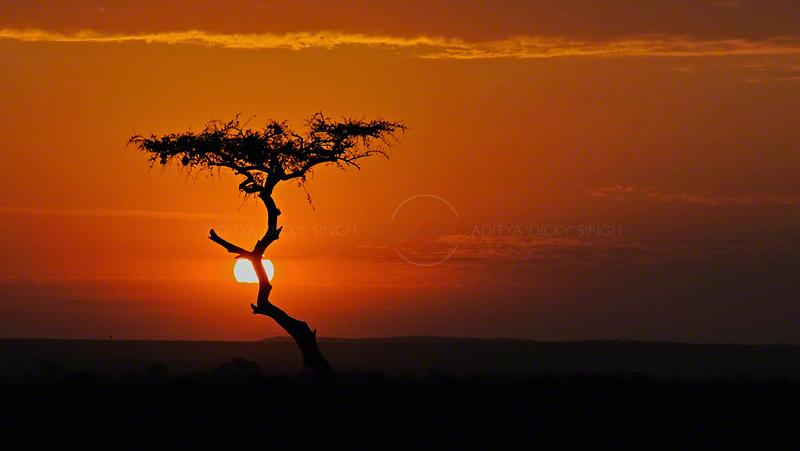 Acacia tree at sunset in Masai Mara