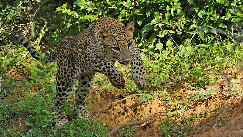 Charging Leopard in Yala national park, Sri Lanka